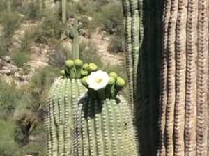 Saguaros in bloom. These things are really just big flowers.