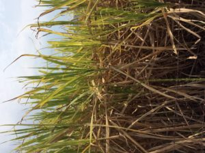 I think this is sugar cane