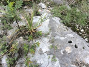 Yucca of some kind on limestone