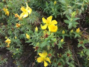 Some counterpoint to shrubby cinquefoil.