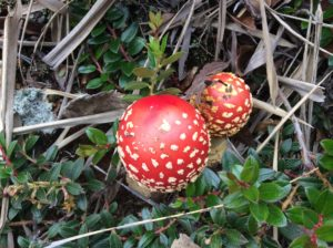 Fly agaric, a poisonous anamita that grows in Alaska and New Zealand.