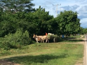 Cows and horse-drawn carts were common in rural Nicaragua.