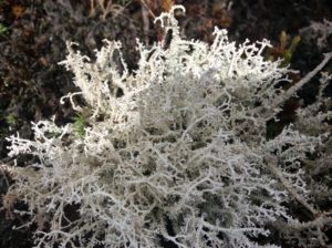 Something comparable to the arctic's reindeer lichen.
