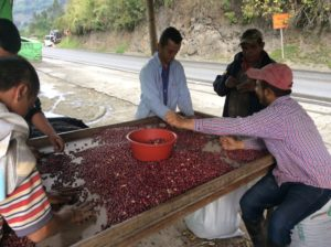 Sorting beans by hand.