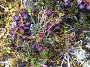 Similar to the Arctic's Lingonberry- they're sweet.