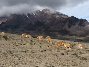 Vicuñas with Chimbo in back.