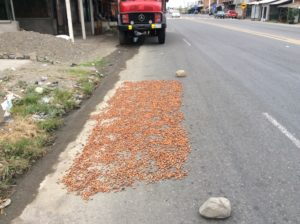 Drying cocoa (as opposed to coca) grown in Ecuador's coastal region.