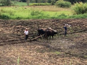 Plowing a field in Ecuador the old fashioned way.