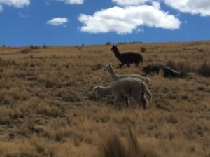Alpacas are the stereotype you see on Peruvian postcards but you see more cows and sheep in the highlands by far.