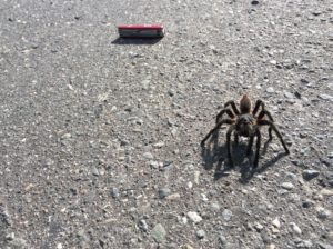 Tarantulas are commen, but this one was big enough I had to stop and get a photo.