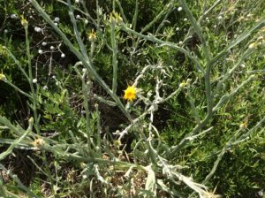 Star thistle! A North American invasive found in Idaho and now in an Argentine latitude and elevation counterpart.